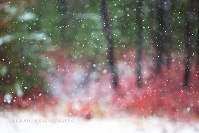 First snow, crimson blueberry bush abstract