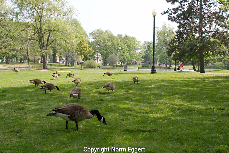 Canada Geese on the grass at Elm Park in Worcester, MA