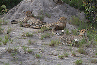 Three African cheetah's relaxing at the base of a termite mound, Botswana, Africa