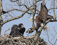 Adult bald eagle brings a duck to feed the eaglet.