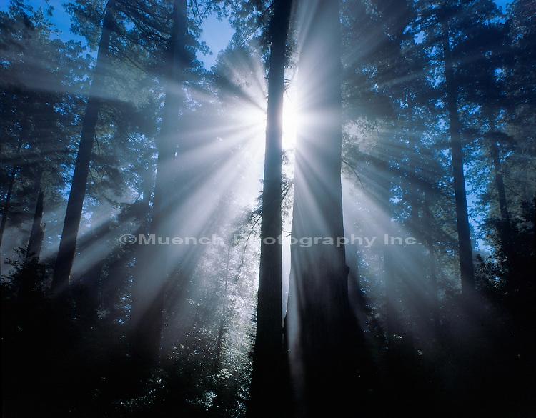 """""""Sunburst, Sequoia sempervirens Del Norte Redwoods SP, Redwood NP  CALIFORNIA"""""""