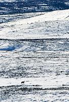 Bull moose, treks across snow covered tundra during mating season, Denali National Park, Alaska