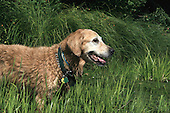 A wet Golden Retreiver standing at edge of natural lake. Large dog wearing collar and tags