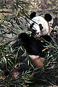 April 1, 2011, Tokyo, Japan - A female giant panda &quot;Shin Shin&quot; eats bamboo at Ueno Zoo in Tokyo on Friday, April 1, 2011, on the first day its appearance with a fellow male panda &quot;Ri Ri&quot;, not seen, to the public. Thousands of visitors flocked to catch a first glimpse of a pair of pandas on loan from China, in a welcome respite from the gloom over last month's massive earthquake and tsunami in northern Japan. (Photo by Daiju Kitamura/AFLO) [1045] -ty-