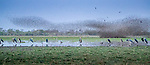 Central Africa, red-billed quelea (Quelea quelea), marabou stork (Leptoptilos crumenifer), black-headed heron (Ardea melanocephala),Black-winged stilt (Himantopus himantopus himantopus), black kite (Milvus migrans),