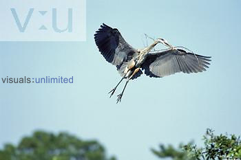 Great Blue Heron flying with nesting material (Ardea herodias), North America.