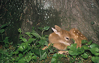 White-tail Deer fawn hiding and resting at the base of a tree (Odocoileus virginianus), North America.