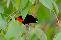 A male Scarlet-rumped (Cherrie's) Tanager, Ramphocelus costaricensis, feeding on berries; La Selva, Costa Rica
