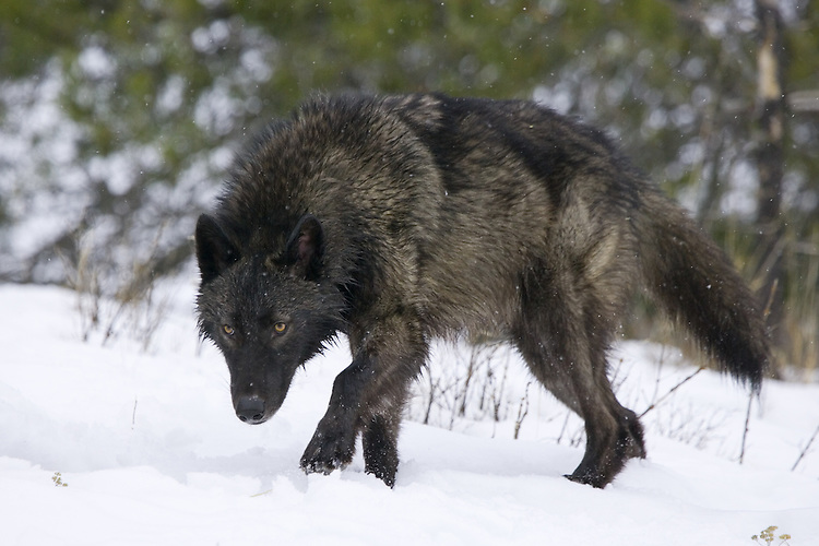 Grey Wolf walking up a snow covered hill - CA