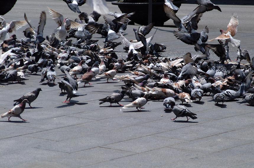 Pigeons flock around food thrown on the sidewalk in Barcelona, Spain.