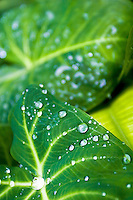 Dew drops on taro leaves at Waimea falls park.