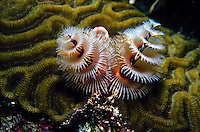 MARINE LIFE: REEFS<br /> Christmas tree worm on brain coral<br /> Christmas tree worms are are small, tube-building polychaete worms. Themulticolored spirals are the worm's respiratory structures.