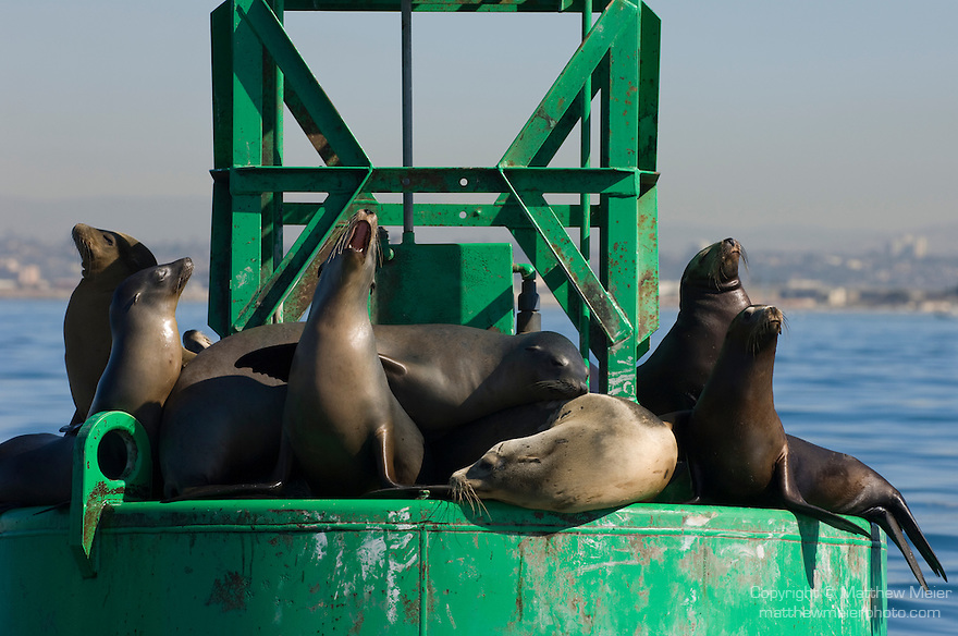 San Diego Bay, San Diego, California; California Sea Lions (Zalophus californianus) vocalize while they haul out of the water on a green channel marker buoy, with the downtown skyline in the background