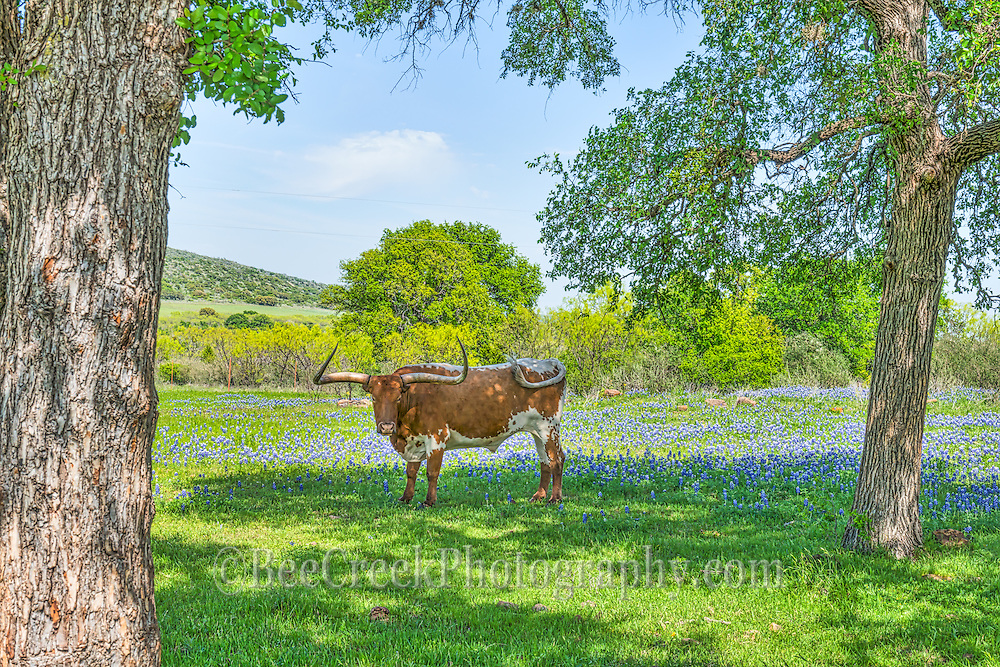 A lone longhorn hanging out under the trees with bluebonnets.   Couldn't get him to move into the light so just took his photo in the shade with the nice green grass some tress and of course bluebonnets.