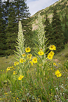 Monument Plant and Aspen Sunflowers