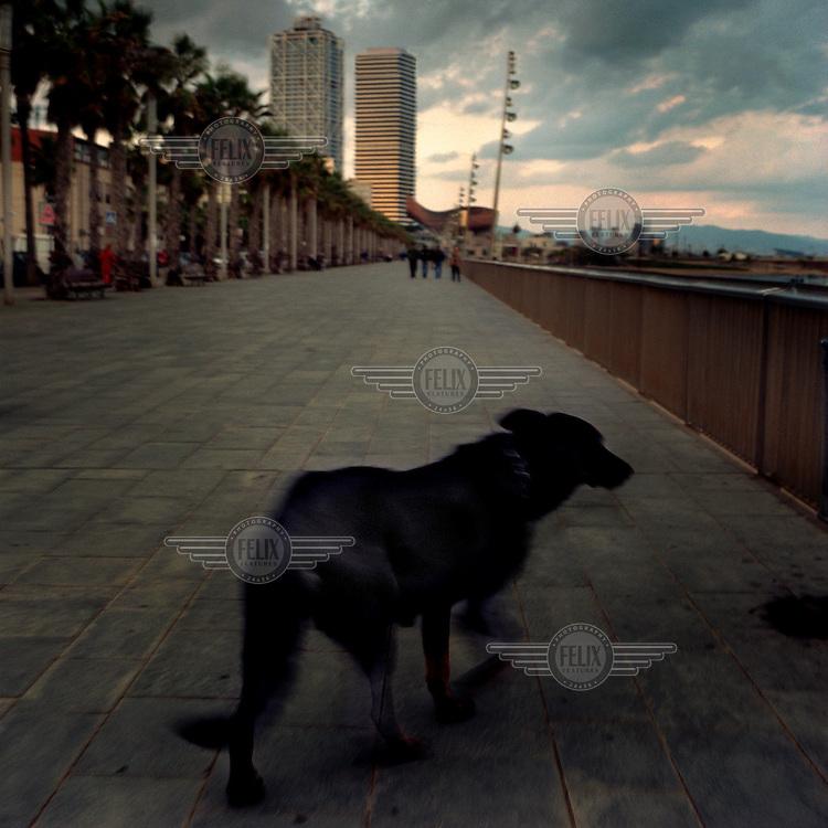 A stray dog walks along the promenade on Barceloneta beach...