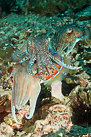 RA75238-D. Pharaoh Cuttlefish (Sepia pharaonis), two males courting one female. Dominant male in center draped overtop larger female below, tries to prevent competing male from mating with her. Philippines. Tropical Indo-West Pacific oceans.<br /> Photo Copyright &copy; Brandon Cole. All rights reserved worldwide.  www.brandoncole.com