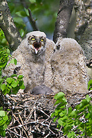 Great Horned Owl chick yawning