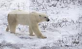 A Polar Bear (Ursus maritimus) Churchill, Manitoba, Canada