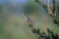 An endangered Kirtland's Warbler, Dendroica kirtlandii, in Jack Pine; Michigan