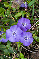 Vinca minor cultivar in blue flowers, creeping ground cover perennial