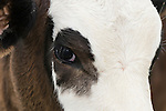 Brazoria County, Damon, Texas; a close up, face shot of a brown and white spotted calf