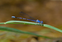 338660006 a wild male spine-tipped dancer argia extrane perches on a plant over a small creek at muleshoe ranch in cochise county arizona