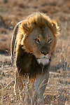 Africa, South Africa, Kwandwe. A male lion backlit in the southern African game reserve of Kwandwe.