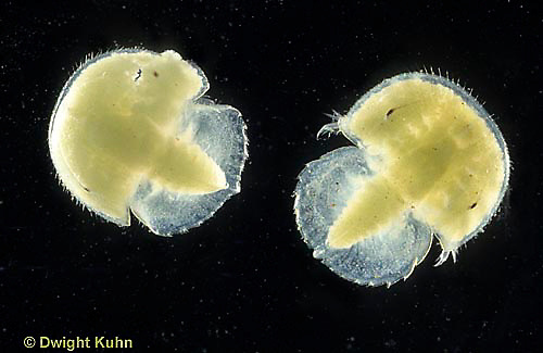 1Y46-087x  Horseshoe Crab - larvae newly hatched from eggs - Limulus polyphemus
