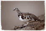 Male ptarmigan perching on rock