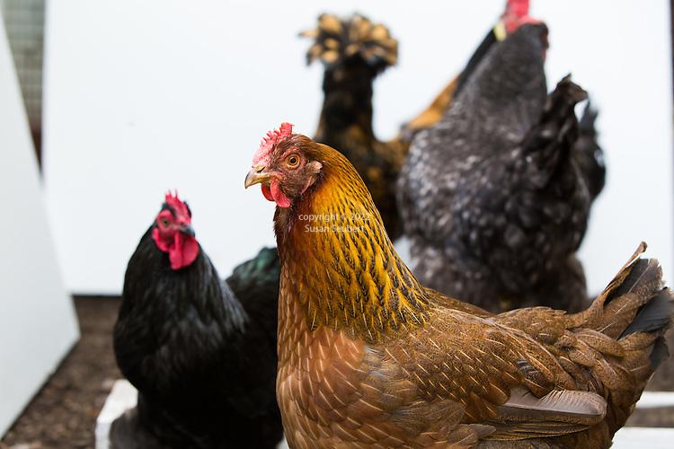 Susan Roth Chickens and coop, Bainbridge Island, WA, USA