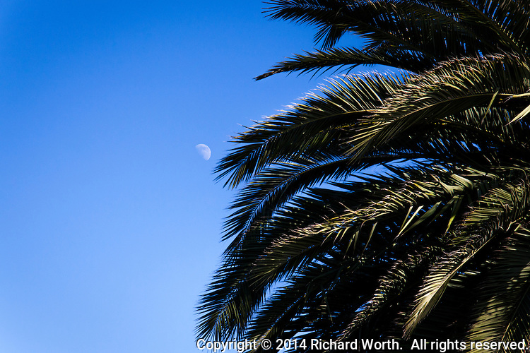 A gibbous moon floats in a blue afternoon sky, next to a massive palm tree at  an urban park.