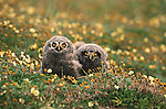 Snowy owlets (Bubo scandiacus), Arctic National Wildlife Refuge, Alaska<br /> Canon F1<br /> Canon 400mm lens<br /> July 1988