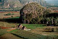 Cuba, March 1992: Tobacco plantation, Vinales area, Cuba.