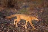 Kit Fox (Vulpes macrotis), Southwestern USA.