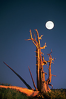 730252060 a bristlecone pine pinus longeava stands as a lonely sentinel below a rising full moon in the bristlecone protected area of the white mountains in kern county california