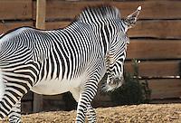 Grevy's zebra (Equus grevyi), in the Zone Sahel-Soudan of the new Parc Zoologique de Paris or Zoo de Vincennes, (Zoological Gardens of Paris or Vincennes Zoo), which reopened April 2014, part of the Musee National d'Histoire Naturelle (National Museum of Natural History), 12th arrondissement, Paris, France. Picture by Manuel Cohen