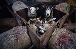 Europe, Great Britain, Staffordshire. Sheep forced to be surrogate mothers to orphaned lambs. If they could move from the stocks they would reject the lambs which are not their own. 1995.'MEAT' across the World..foto © Nigel Dickinson