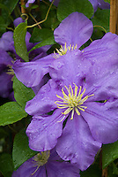 Clematis 'General Sikorski', perennial climbing flowering vine with blue flowers, yellow stamens