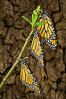 321000069 wild newly hatched monarch butterflies danus plexippus hang from a small plant stem after hatching on a private ranch in the hill country of central texas