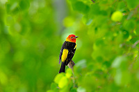 Male Western Tanager (Piranga ludoviciana) perched among aspen tree leaves.  Western U.S., summer.