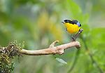 Blue-winged mountain tanager, Anisognathus somptuosus, Tandayapa Valley, Ecuador