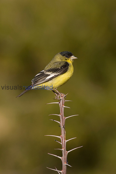 Lesser Goldfinch male (Carduelis psaltria) perched on Ocotillo (Fouquieria splendens), Arizona, USA.