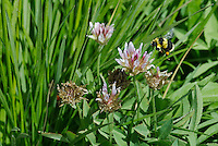 320380001 a wild american bumblebee bombus pennsylvanicus hovers over foothill clover wildflower rifolium ciliolatum at dismal swamp modoc county california
