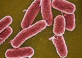 Salmonella typhimurium Bacteria, gram-negatve bacilli that cause gastroenteritis. SEM