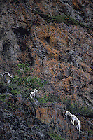 678550429 a wild dall sheep ewe and her kid ovis dalli stand on a rocky cliff face along turnigan arm south of anchorage alaska