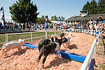 Pig Races at the Evergreen State Fair with audiences enjoying the races Monroe Washington State USA