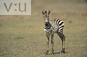 Baby Burchell's Zebra ,Equus Burchelli, Masai Mara Game Reserve, Kenya