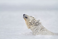 Polar bear swims in the icy waters of the Beaufort Sea on Alaska's arctic coast.