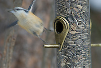 Red-Breasted Nuthatch at a feeder